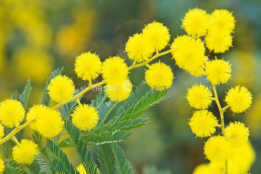 mimosa 'Gaulois Astier', Acacia dealbata 'Gaulois Astier' // Silver Wattle 'Le Gaulois Astier',  Acacia dealbata 'Gaulois Astier'