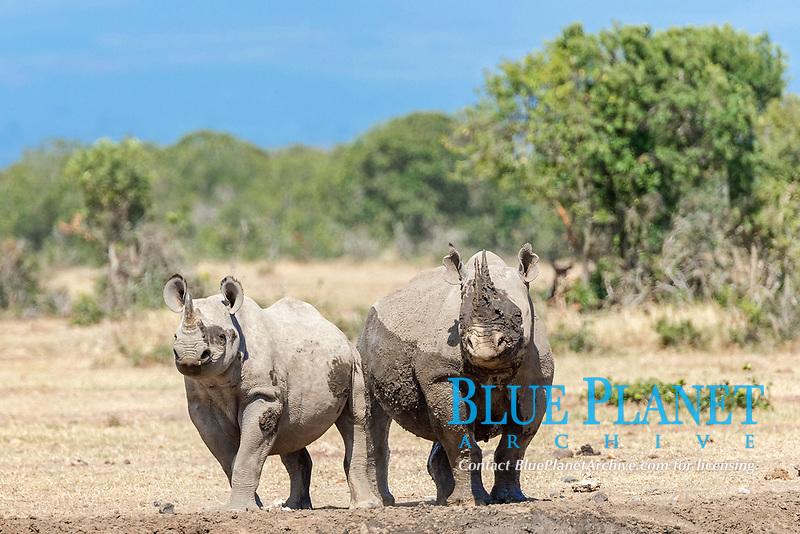 Black rhinos (Diceros bicornis) after a mud bath, Ol Pejeta Reserve, Kenya, Africa