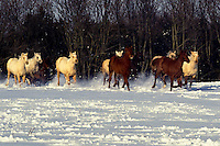 Quarter horses running in snow out of woods into pasture