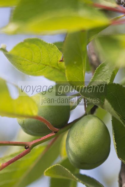 Europe/France/Aquitaine/47/Lot-et-Garonne/Granges-sur-Lot : Musée du pruneau - Dans les vergers de pruniers: Prunes d'Ente - qui donneront les pruneaux d'Agen