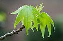 Liquidambar styraciflua, new spring foliage, mid April.