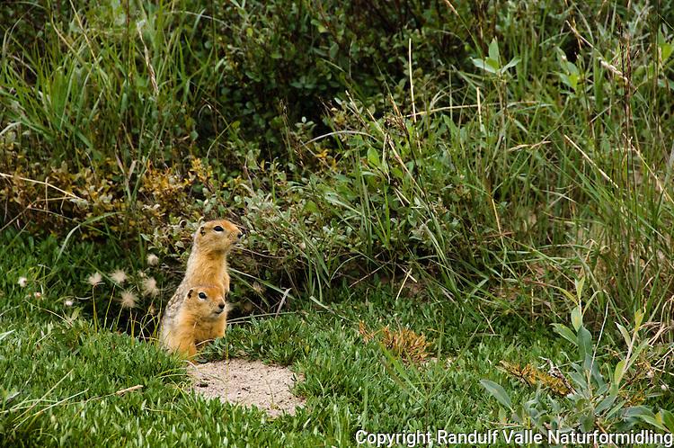 Arktisk jordekorn (Spermophilus parryii) ---- Arctic ground squirrel