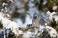 01288-05320 Blue Jay (Cyanocitta cristata) in Juniper tree (Juniperus chinensis 'Keteleeri') in winter, Marion Co., IL
