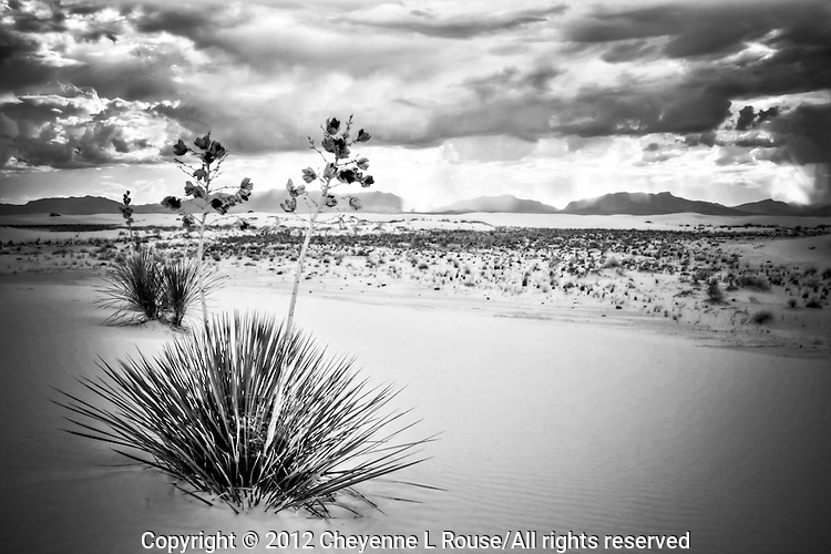 Yuccas at White Sands National Monument - New Mexico (BW)