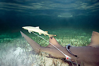 lemon shark, Negaprion brevirostris, live birth - newborn, pup with umbilicus, placenta, and chorionic membrane still attached, Bahamas, Caribbean Sea, Atlantic Ocean