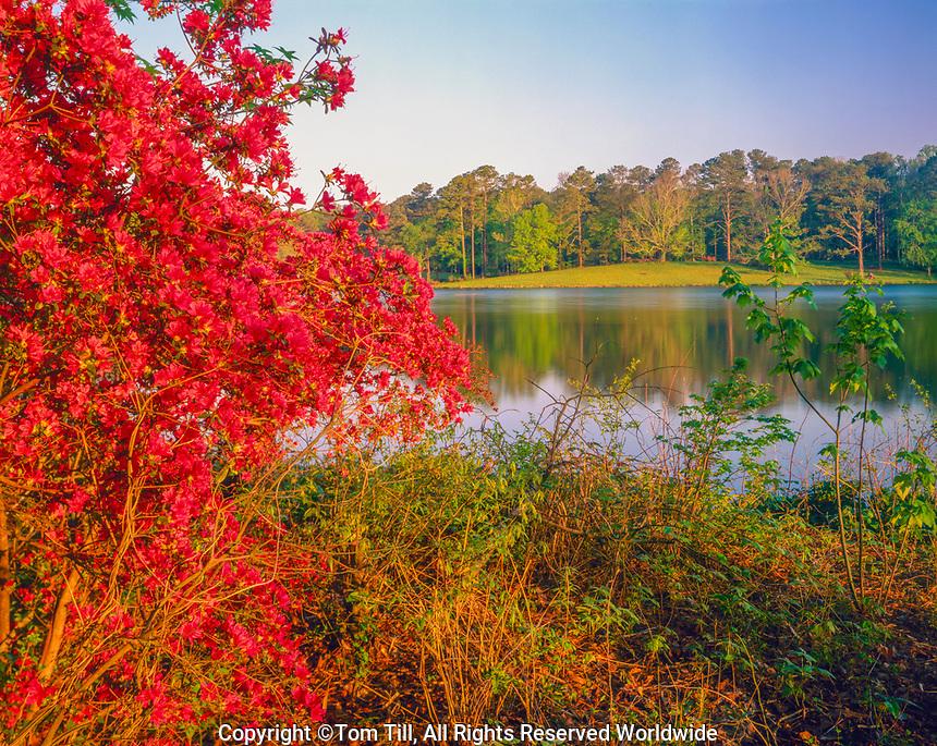 Azalea at Mountian Creek Lake, Callawy Gardens, Georgia, Pine Mountain