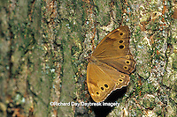 03482-00118 Northern Pearly-eye butterfly  (Enodia anthedon) on tree Marion Co.  IL