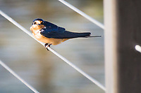 A Barn swallow pauses and poses along the boardwalk at San Lorenzo Community Park.