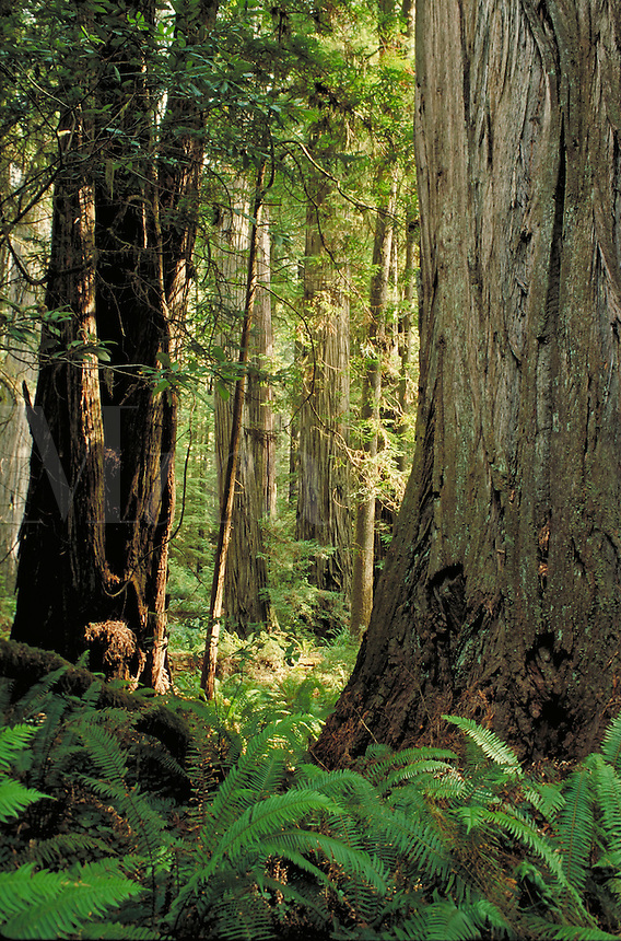cluster of coast redwood trees and forest setting inside Jedediah Smith State Park. California USA Jedediah Smith Redwoods State Park.