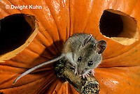 MU59-063z   White-Footed Mouse - on Jack-o-lantern -  Peromyscus leucopus