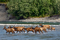 Roosevelt Elk herd (Cervus canadensis roosevelti), sometimes called Olympic Elk, fording river.  Olympic National Park, WA.  June.