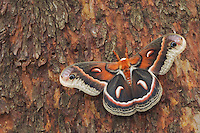 Cecropia Moth, Hyalophora cecropia, adult resting on Texas Madrone(Arbutus xalapensis) bark, Uvalde County, Hill Country, Texas, USA