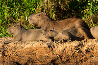 Mother Capybara (Hydrochaeris hydrochaeris) with two babies lounges in the evening sunlight on a river bank in The Pantanal, Brazil.  Capybara are the largest rodents in the world.  Although this mother looks like she's asleep, her sense of hearing is superb, and they are adept at sensing approaching predators.