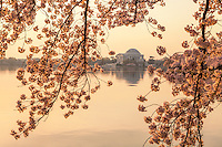 Cherry Blossoms Jefferson Memorial Tidal Basin Washington DC Cherry Blossoms Jefferson Memorial Tidal Basin Washington DC Cherry Blossoms blooming around the Tidal Basin in Washington, DC symbolize the natural beauty of our nation's capital city and has become part of Washington, D.C.'s rite of spring. Landmarks include the Jefferson Memorial, Washington Monument, and US Capitol. A popular tourist attraction and travel destination for many visiting Washington, D.C.