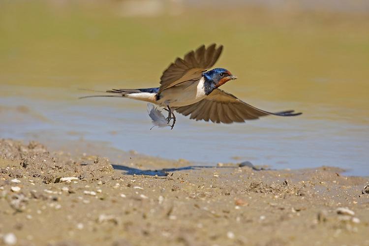 Swallow - Hirundo rustica