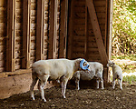 July 31, 2017. Chapel Hill, North Carolina.<br /> <br /> Rameses the Ram with his daughter June, right. <br /> <br /> The Hogan family have long been the caretakers of Rameses the Ram. The current Rameses is the 21st in the line of the University of North Carolina's live mascot.