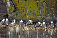 35-B04-KB-016    BLACK-LEGGED KITTIWAKES (Rissa tridactyla), adults with chicks, Cape St. Mary's, Newfoundland, Canada                 .