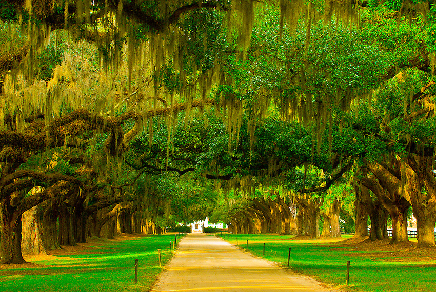 Live oak trees with Spanish Moss line the drive into the Boone Hall Plantation, Charleston, South Carolina