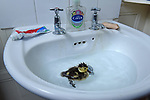 Pictured:  The duckling having a swim in the bathroom sink.<br /> <br /> A couple have become the unexpected owners of a duckling after finding an abandoned egg - and hatching it in their oven.  Heartwarming photographs and videos show the days-old duckling following Will Hall and Alice Kendall around their home after they rescued it, even 'terrifying' their big German pointer, Meg.<br /> <br /> Mr Hall, a teacher at leading independent school Winchester College, discovered the duck egg while out walking in a grassy area on Saturday and couldn't find its nest.  Not wanting to leave the egg, the 26 year old FaceTimed his events coordinator partner and the pair hatched a plan to save it.<br /> <br /> Miss Kendall, 22, preheated the oven at their home in Winchester, Hants, ready for their arrival, setting up a makeshift incubator by placing a tea towel on a baking tray.  SEE OUR COPY FOR DETAILS.<br /> <br /> © Simon Czapp/Solent News & Photo Agency<br /> UK +44 (0) 2380 458800