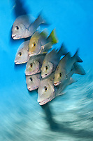 artistic photograph showing a school of Gray Snapper, Lutjanus griseus, Bonaire, Netherlands Antilles, Atlantic Ocean