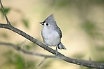 A Tufted Titmouse Striking A Curious Pose, Parus bicolor