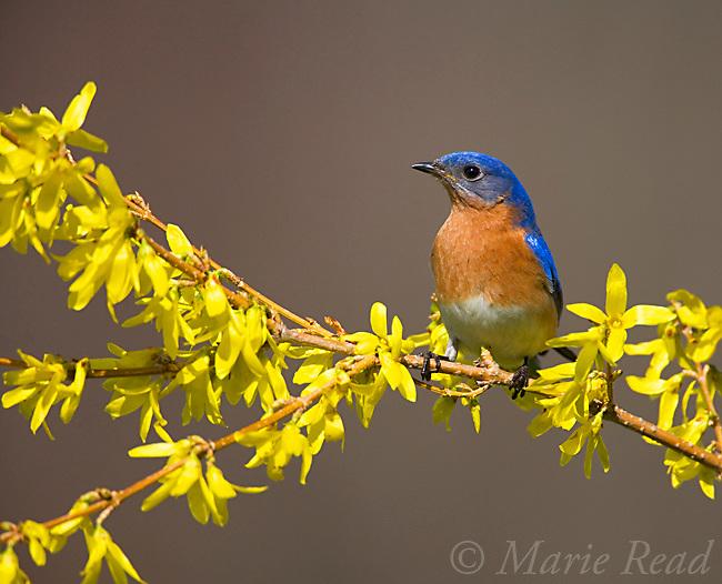 Eastern Bluebird (Sialia sialis) male perched on flowering Forsythia, New York, USA