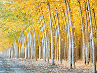 Pacific Albus (Poplar) tree farm, Boardman Tree Farm, Oregon