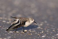 Sanderling, Calidris alba,adult preening, Sanibel Island, Florida, USA
