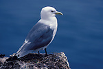 Kittiwake, Rissa tridactyla, adult standing at edge of cliff overlooking the sea. .