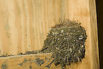 Nest of Eastern Phoebe, Sayarnis phoebe