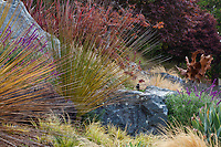 Dasylirion longissimum in California hillside garden with serpentine rocks