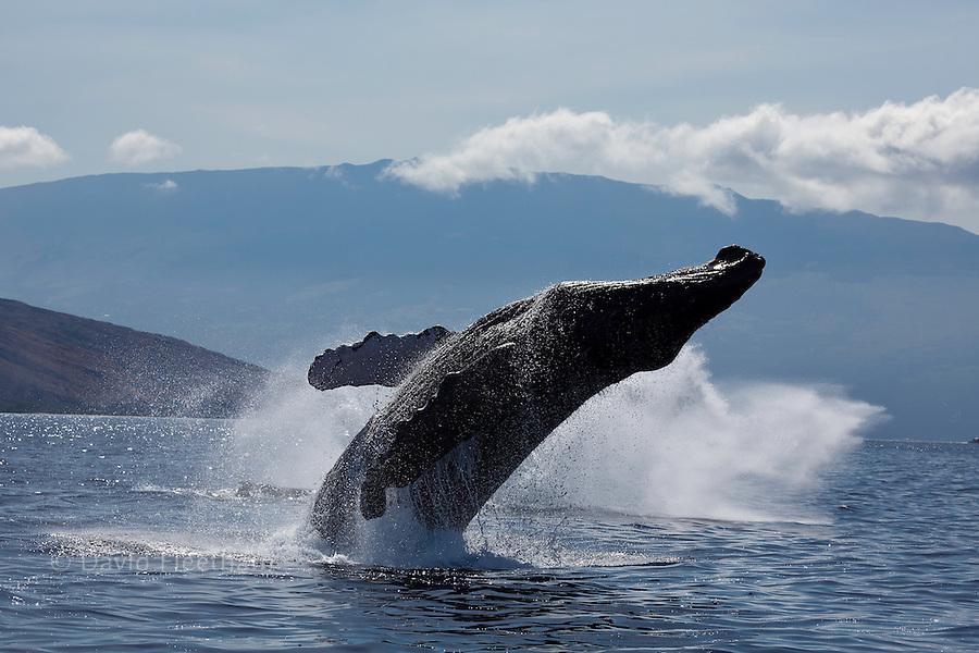 Breaching humpback whale, Megaptera novaeangliae, with Haleakala in the background, Maui, Hawaii.