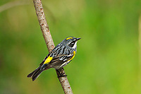 Myrtle Warbler (Yellow-rumped) Setophaga coronata