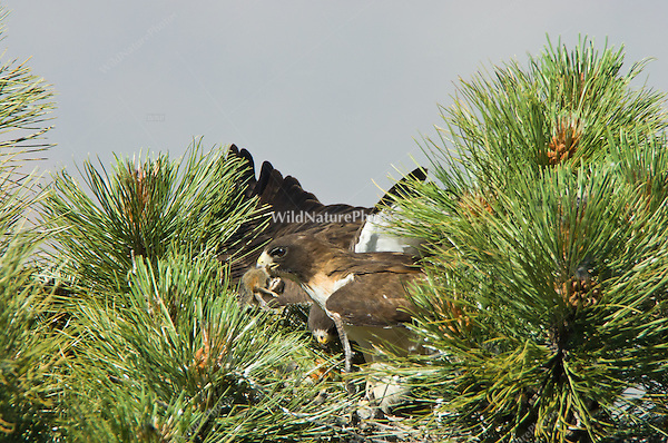 Short-tailed Hawk (Buteo brachyurus) adults, at the nest with prey (Cliff Chipmunk, Eutamias dorsalis); Arizona, (Nesting Record)