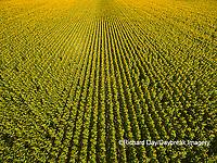 63801-11411 Sunflower field-aerial Jasper Co.  IL