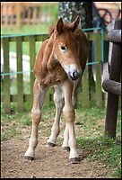 BNPS.co.uk (01202 558833)<br /> Pic: TomWren/BNPS<br /> <br /> Newborn horse packs a punch...<br /> <br /> This adorable foal which is rarer than the giant panda and the black rhino is bringing new hope to its critically endangered breed.<br /> <br /> Little Lilly-Rose was born at the Dorset Heavy Horse Centre in Verwood, Dorset, earlier this month and is a Suffolk Punch.<br /> <br /> The native breed of heavy horse is ranked critically endangered by the UK Rare Breeds Survival Trust and the latest figures show the number of registered breeding mares dropped 45 per cent this year to just 73.<br /> <br /> New foals need to be born if the breed is to stand any chance of surviving and staff at the centre hope Lilly-Rose will be able to join the breeding programme when she's older.