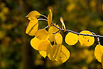 Golden Aspen leaves in fall, autumn, fall leaves, Utah, UT, Image ut314-18899, Photo copyright: Lee Foster, www.fostertravel.com, lee@fostertravel.com, 510-549-2202