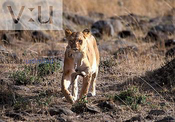 African female Lion and cub. ,Panthera leo, Masai Mara Game Reserve, Kenya
