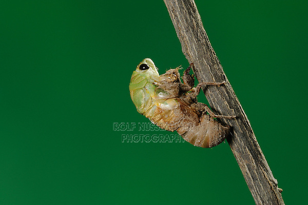 Superb Green Cicada (Tibicen superba), adult emerging from nymph skin, New Braunfels, San Antonio, Hill Country, Central Texas, USA