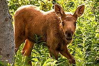 A baby moose offers a curious glance while feeding in the woods ner Kenai, Alaska.