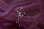 Cleaner shrimp in purple anemone