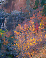 Zion National Park, UT<br /> A small grove of autumn aspen trees backlit by the sun against the striated sandstone walls in Echo Canyon