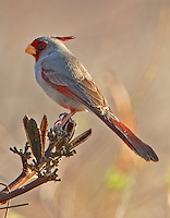 Adult male pyrrhuloxia
