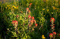 Wildflowers bloom along Highway 281, in Hill Country, Texas, April 25, 2010. Amongst others, Blue Bonnets, Indian Paint Brush, Indian Blanket, Winecup, Black Eyed Susan and Daisies are common along the highway...PHOTOS/ MATT NAGER