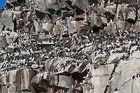Trottellumme, Kolonie brütend auf einem Vogelfelsen, Vogelfels, Trottel-Lumme, Lumme, Uria aalge, guillemot, common murre