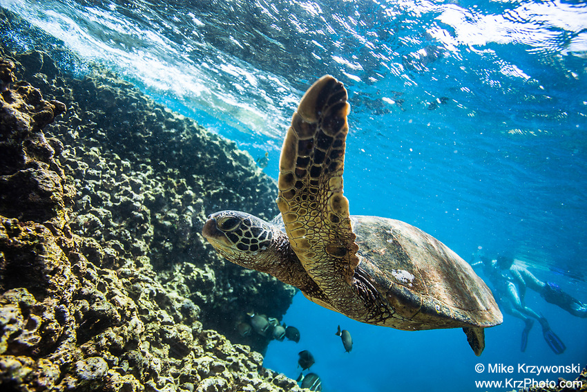 Hawaiian green sea turtle swimming underwater with snorkelers in the background, Shark's Cove, Oahu