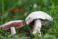 Wiesen-Champignon, Wiesenchampignon, Feldegerling, Wiesenegerling, Feld-Egerling, Wiesen-Egerling, Champignon, Champignons, Champignion, Champignions, Egerling, Agaricus campestris, field mushroom, meadow mushroom