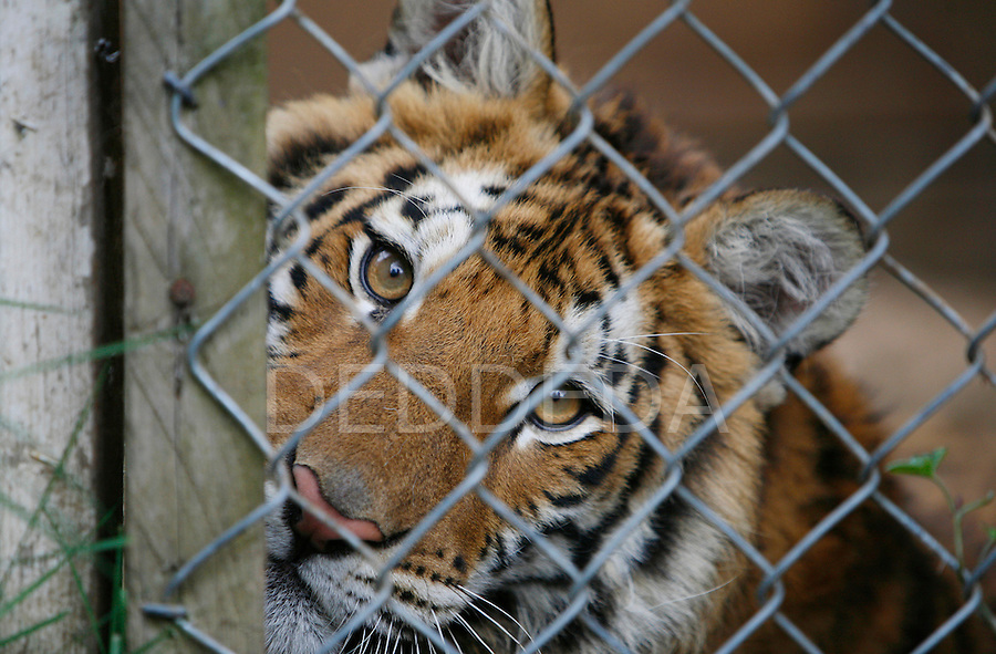 """Susie, a 10-month-old and 200lb Siberian tiger looks through the gate of her enclosure at Jamie Bell's wildlife """"sanctuary"""" called Primate Estate near Lake Cowichan, British Columbia, on Vancouver Island. Bell has 52 primates and nine exotic cats on her property. Bell's neighbors are complaining about the animals escaping and coming onto their property. Photo assignment for the Globe and Mail national newspaper in Canada.."""
