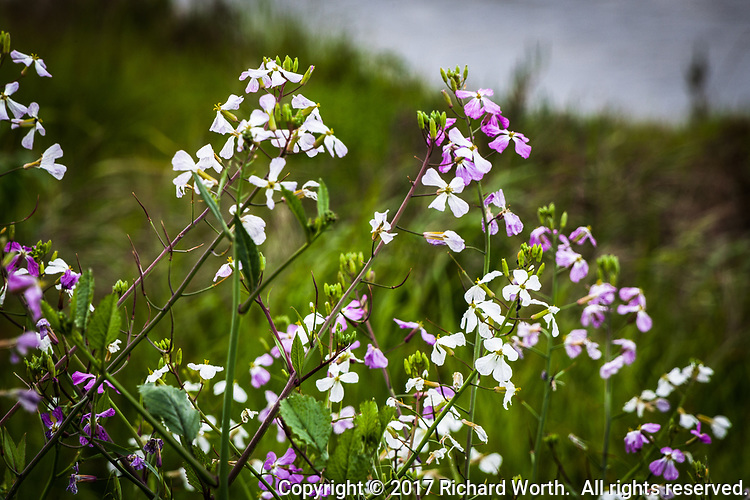White and purple Wild Radish flowers are a sign of spring along the banks of San Lorenzo Creek near where it flows into San Francisco Bay.