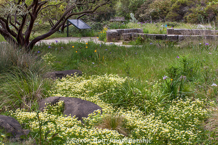 Spring meadow with Limnanthes douglasii - Douglas' meadowfoam wildflowers in Menzies Garden of California native plants; San Francisco Botanical Garden